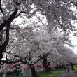 塩の千本桜masumaru