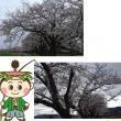 塩の千本桜